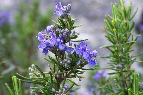 צמח הרוזמרין