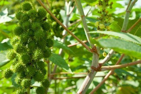 קיקיון צמח